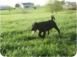 bluetick coonhound breeders in michigan dudley adopted puppy muskegon mi great dane bluetick