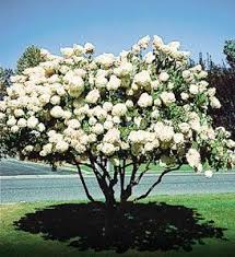 tree with white flowers best 20 white flowering trees ideas on no signup