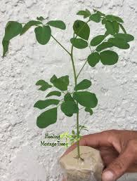 moringa oleifera tree seedlings
