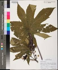 plants native to alabama ricinus communis species page apa alabama plant atlas