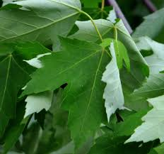 maple tree varieties information about maple tree identification