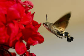 mysteriously amazing facts about hummingbird moths