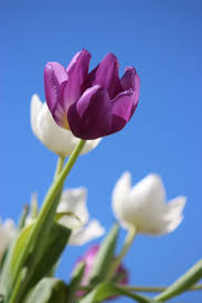 wallpaper bunga tulip free images nature blossom sky white meadow flower purple