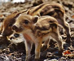 free images sweet cute wildlife baby fauna piglet