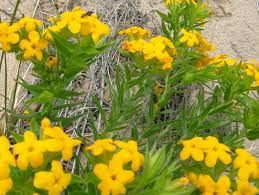native plants of michigan hairy puccoon michigan sea grant