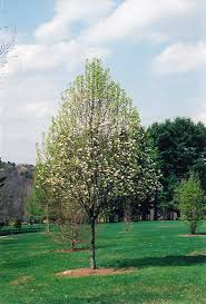 whitehouse ornamental pear pyrus calleryana whitehouse in