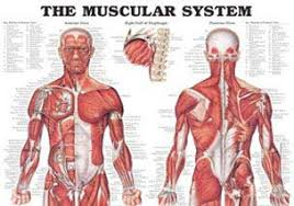 Anatomy Of Body Muscles Anatomical Models Anatomy Charts Anatomy Posters At Anatomy