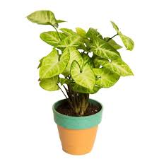 Self Watering Indoor Planters by Indoor Hybrid Syngonium Plant For Office Garden Springfinity