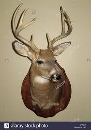 deer head deer head trophy on wall stock photo 47431021 alamy