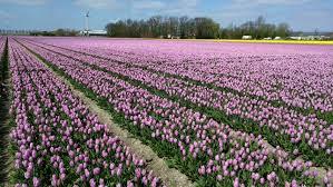 noordoostpolder the netherlands covered in flower bulb fields