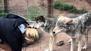Colorado wildlife tours images Colorado wolf and wildlife center tour 8 2 13 jpg
