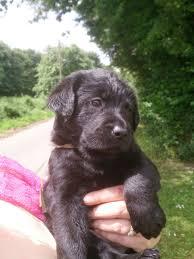 belgian sheepdog lab mix labrador x belgian shepherd puppies for sale spalding