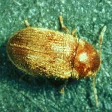 Biscuit Beetle In Bedroom Cigarette Beetles How To Get Rid Of Drugstore Beetles