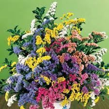 statice flowers soiree mix statice flower seeds