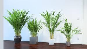 areca palm vizpark vizpark areca palm pinterest plants