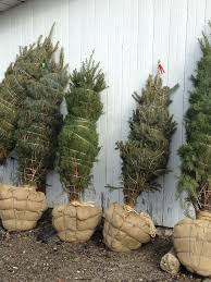harford county maryland christmas tree farm hickory hill balled