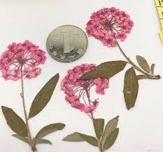 alyssum flowers 2018 2017 pink color alyssum flowers dried flower diy phone
