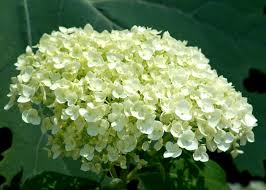incrediball hydrangeas pruning care information