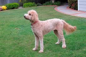labradoodle hairstyles short haircut styles for girls hairstyle ideas in 2018