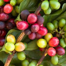coffee plants for sale coffee arabica plants for sale fast