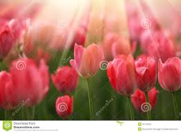 Flower Pictures Tulip Flowers In Sunshine Royalty Free Stock Photo Image 35770335