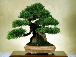 bonsai trees u2013 size classification