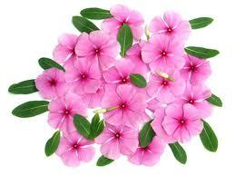 vinca flower vinca vs annual periwinkle hunker