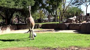 Zoo Lights Tucson Az by Giraffe Soccer At Reid Park Zoo Youtube