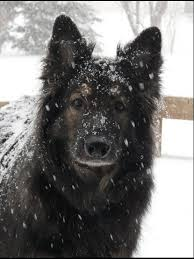 belgian sheepdog alberta dayspring shiloh shepherds akaya i u0027ve never heard of shiloh