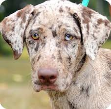 australian shepherd dalmatian mix gina wow gorgeous puppy adopted puppy wakefield ri