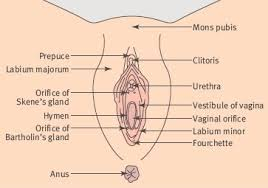 Private Parts Female Anatomy Anatomy Of Female Pelvis Do Women Really Have An Extra Hole Near
