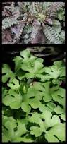 propagating native plants 66 best bushes shrubs and plants images on pinterest shrubs