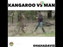 Kangaroo Meme - kangaroo vs man fight voice over meme youtube