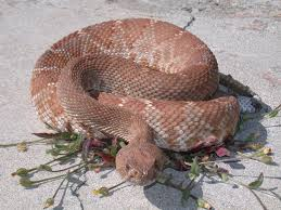 rattlesnakes in california