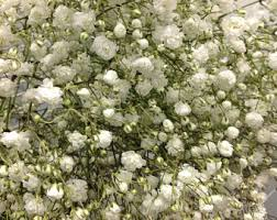 Bulk Baby S Breath Fresh Babys Breath Etsy