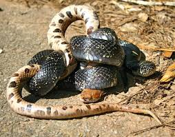 How To Find Snakes In Your Backyard Living Alongside Wildlife Kingsnakes Keep Copperheads In Check