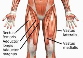 Muscle Anatomy Of Shoulder Human Anatomy Muscles How Muscles Are Named U0026 Why