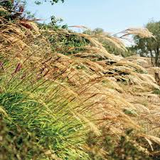 how to plant native grasses 10 favorite ornamental grasses sunset