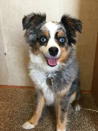 australian shepherd quiz dogs do feel love and these humans totally get it barkpost