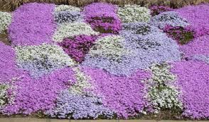 Phlox Flower Perennial Photos Including Photos Of Peony Phlox Salvia And Sedum