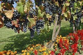 good companions for grapes learn about plants that grow well with