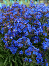 school annuals online anchusa capensis blue angel buy online at s annuals