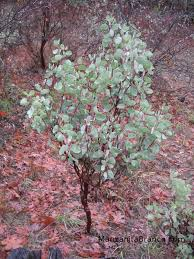 manzanita branches for sale where to get manzanita plants
