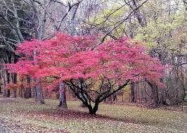 chanticleer callery pear flowering tree