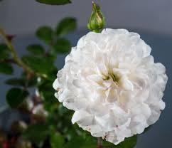 K Hen G Stig Online Rose Sea Foam Rosa Sea Foam Günstig Online Kaufen