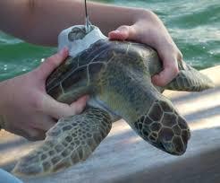 national aquarium national aquarium celebrates rescued turtle