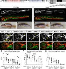 vegfd modulates both angiogenesis and lymphangiogenesis during