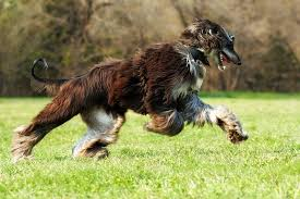 afghan hound breed most difficult to train dog breeds pet care facts