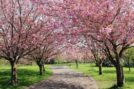 to plant 1 000 of it s iconic cherry blossom trees in britain
