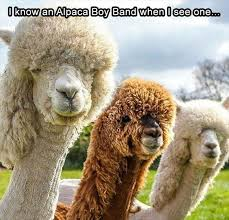 Alpaca Memes - 15 hilarious alpaca memes that will have you laughing all day